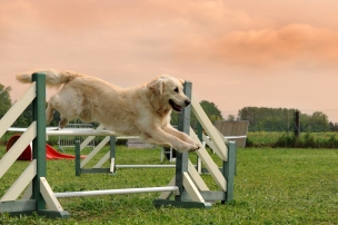 purebred golden retriever jumping in a training of agility