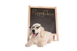 """A cute Golden retriever puppy in front of a chalk board with the words """"Puppy Class"""" written in chalk. Isolated on white."""